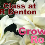 Free Class on Growing Roses to be Held by Master Gardener in Benton