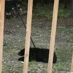 Black Bear Takes Dinner in North Alexander Back Yard