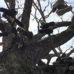 Sardis Shoe Tree to Come Down June 14th; Committee Formed to Plan Comemmoration